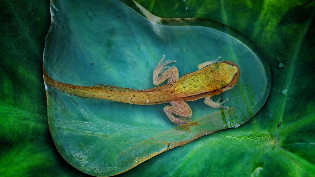 Adolescent frog in a pool of water on a giant lily pad 1024x576 Adolescent frog in a pool of water on a giant lily pad