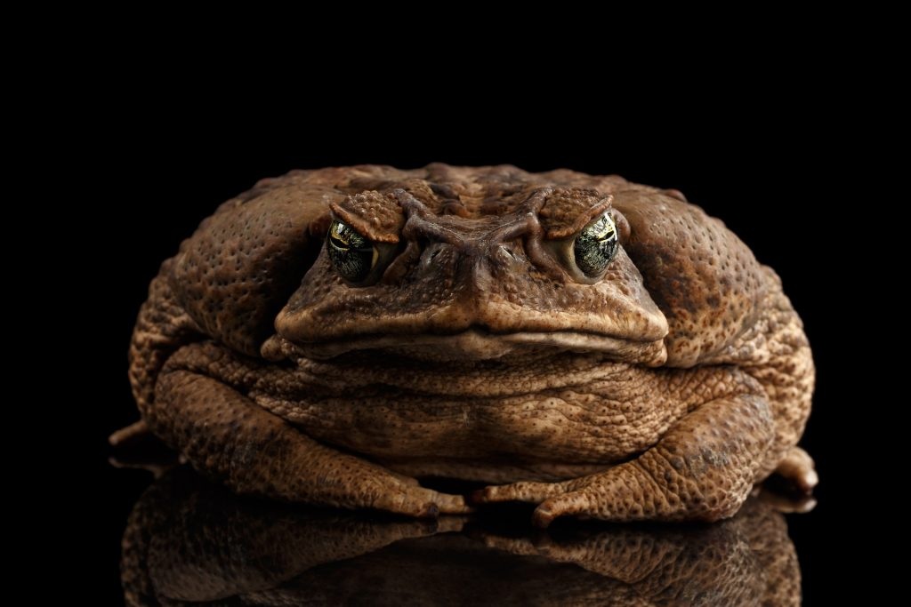 Angry Toad